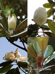タイサンボク(泰山木)
