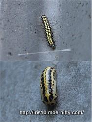 [虫]キアシドクガの蛹化