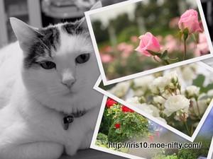 猫とわたくし「八景島のバラの丘に」