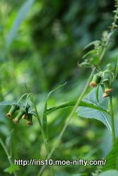 ベニバナボロギク(紅花襤褸菊)