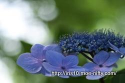 あじさい、アジサイ、紫陽花