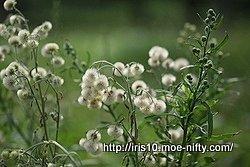 アレチノギク(荒地野菊)