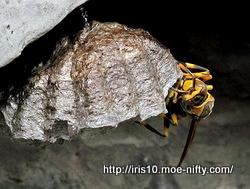 [虫]アシナガバチ