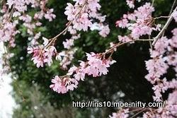 シダレザクラ(枝垂桜)