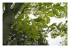 トチノキ(栃の木)