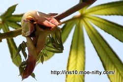 トチノキの若葉の展開 2