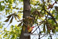 トチノキの若葉の展開 3
