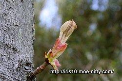 トチノキの若葉の展開 1