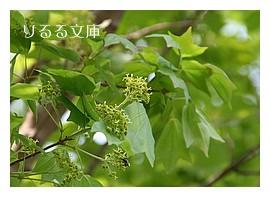 トウカエデの花