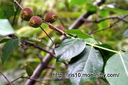 ロウバイの果実