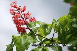 ベニバナトチノキ(紅花栃の木)