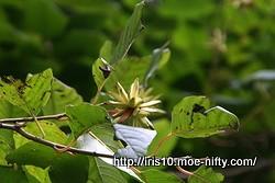 カンレンボク(旱蓮木)