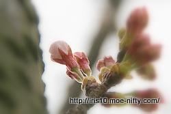 ご近所のソメイヨシノの咲き具合