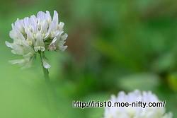 シロツメクサ(白詰草)