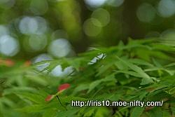 ヤマモミジ(山紅葉)