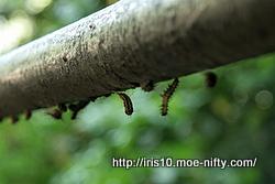 キアシドクガの蛹たち。