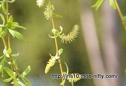 シダレヤナギの花