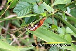 スズメガの幼虫