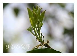 ソヨゴ(冬青)