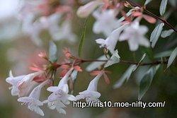 ハナゾノツクバネウツギ(花園衝羽根空木)