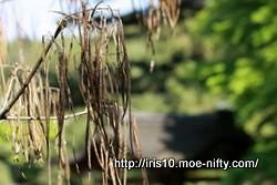 キササゲ(木大角豆)