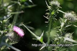 アメリカオニアザミ(亜米利加鬼薊)