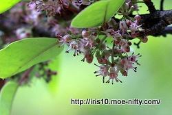 クロガネモチの雄花も。