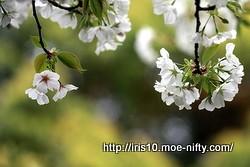 桜に呆ける。