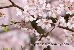 コヒガンザクラ(小彼岸桜)