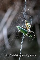 [虫] ナガコガネグモ