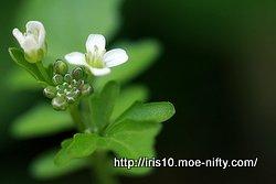オオバタネツケバナ(大葉種漬花)