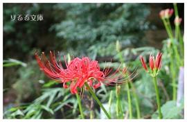 [photo]称名寺の曼珠沙華