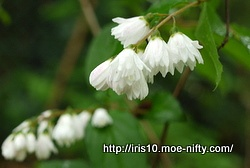 シロバナヤエウツギ(白花八重空木)