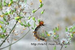 [虫] マイマイガ