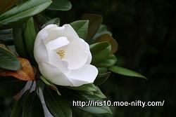 タイサンボクの花も。