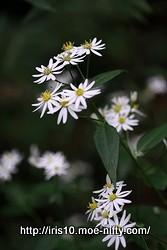 ヤマシロギク(山白菊)
