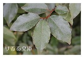 ツルグミの葉